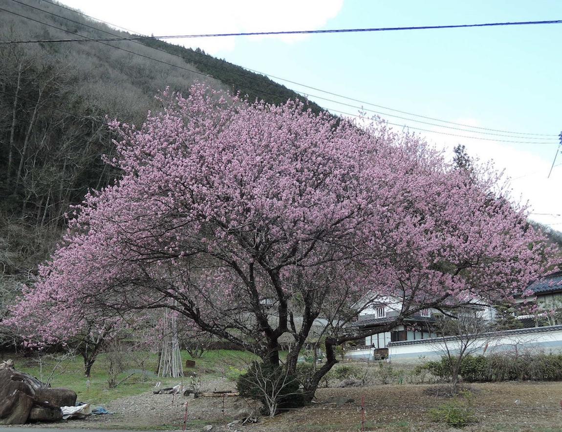 春、開花、花桃